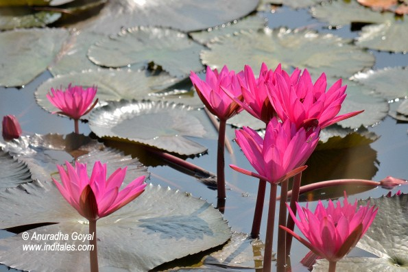 Pink Water Lily's lake at Satpura National Park