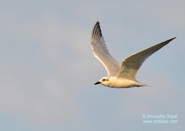 Slender-billed Gull bird in-flight