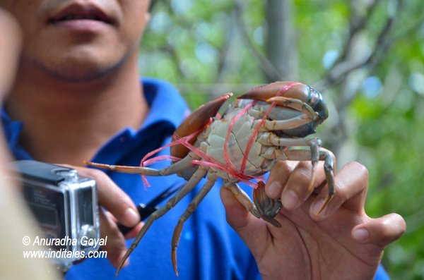 Untying a Crab at Pranburi Forest Park