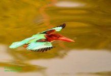 White-throated Kingfisher in-flight