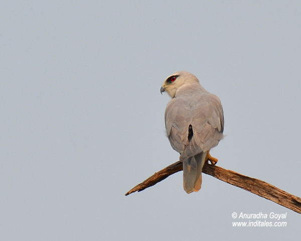 Black-Shouldered Kite bird