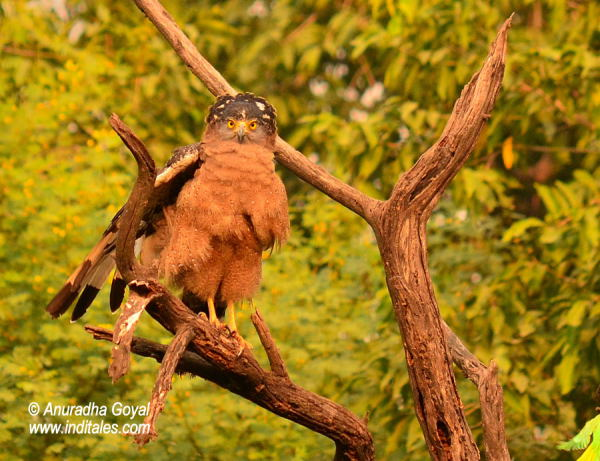 Crested Serpent Eagle bird