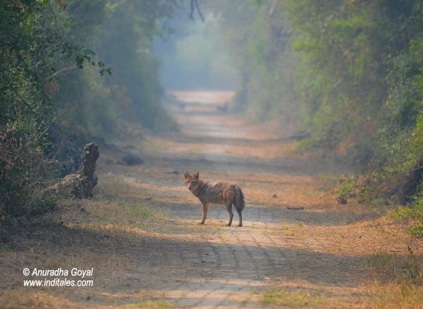 Indian Jackal at Keoladeo National Park