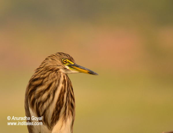 Indian Pond Heron bird at Bharatpur Bird Sanctuary