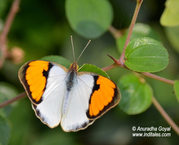 Ixias Marianne or the White Orange Tip butterfly at Bharatpur Bird Sanctuary