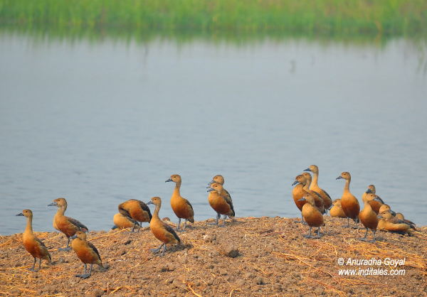 Lesser Whistling Ducks at Bharatpur Bird Sanctuary