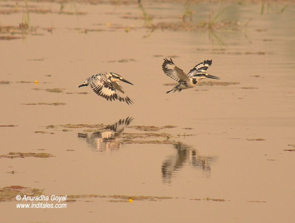 Pied Kingfishers birds in-flight at Bharatpur Bird Sanctuary
