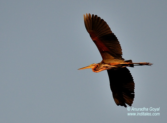Purple Heron in-flight
