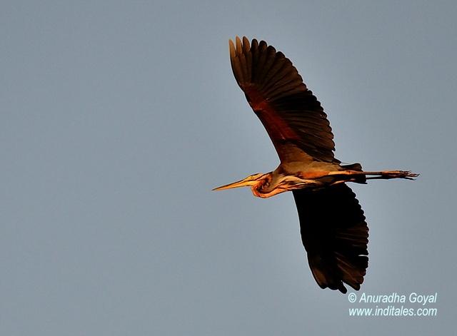 Purple Heron in-flight