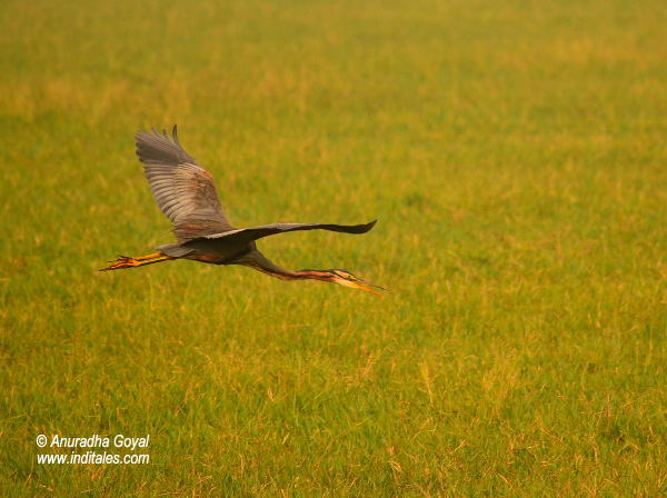 Purple Heron bird in-flight