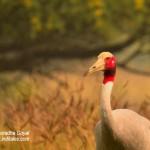 Saras Crane the tallest bird