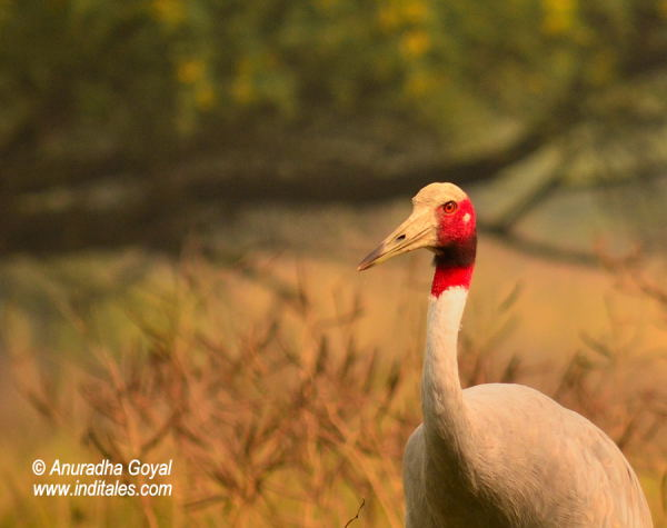 Saras Crane the tallest bird at Keoladeo National Park