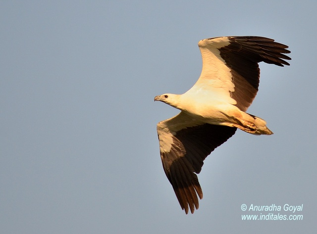 White-bellied Sea Eagle in-flight