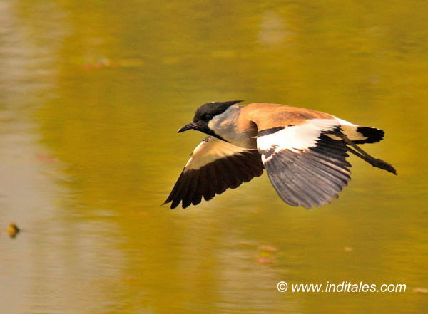 River Lapwing bird in-flight, bird photography