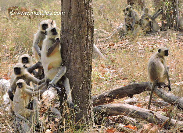 Gray Langurs or Hanuman Langurs, the Black-faced monkeys at Bandhavgarh