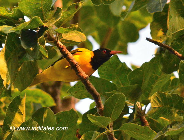 Black-headed Oriole bird