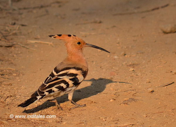 Common-Hoopoe bird photography