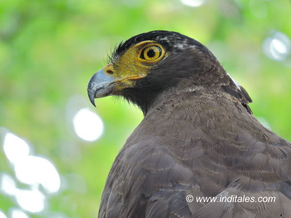 Crested Serpent Eagle at Bandhavgarh National Park
