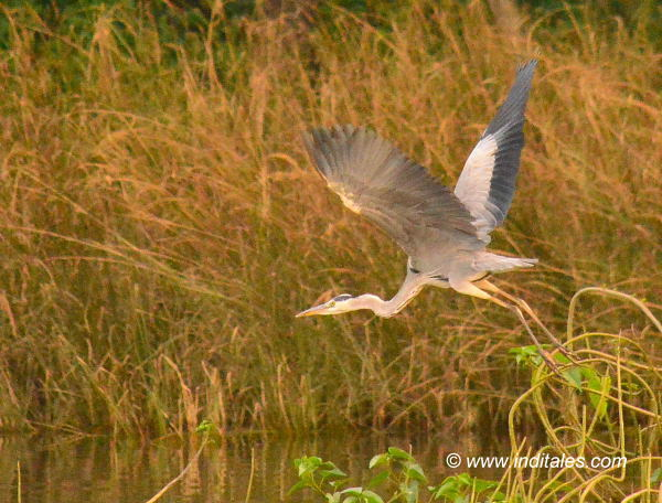 Grey-heron Bird in flight