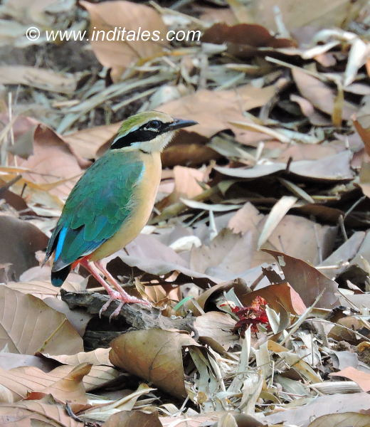 Indian Pitta bird at Bandhavgarh National Park