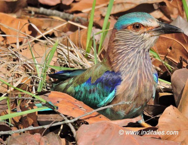 Indian Roller bird at Bandhavgarh