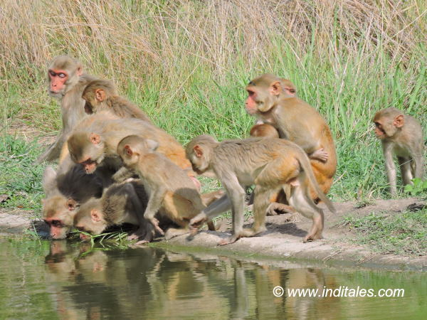 Rhesus monkeys or Rhesus Macaques - Drinking Water or admiring their own reflection