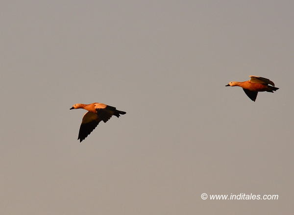 Lesser-whistling Ducks in flight, bird photography