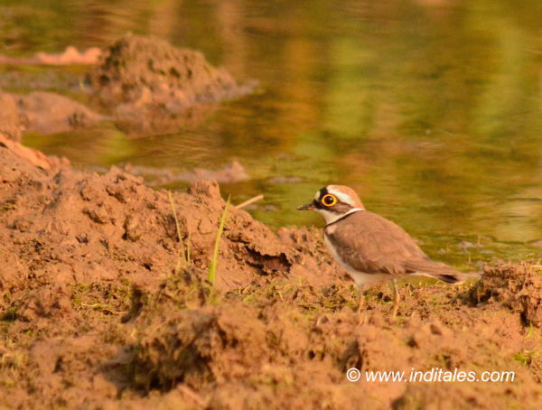 Little-ringed Plover bird photography
