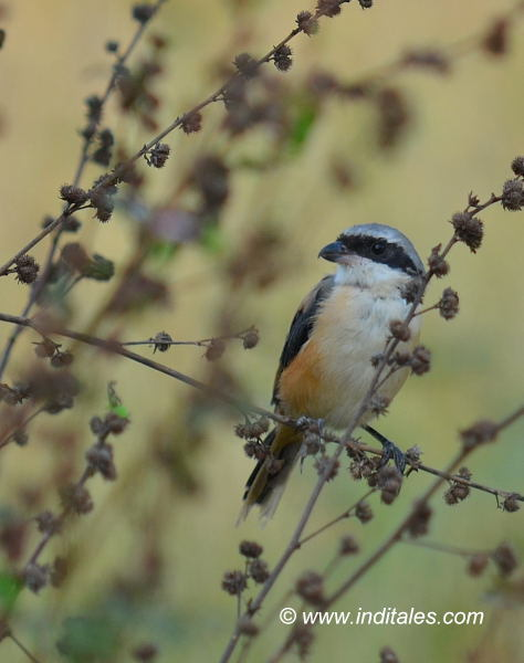 Long-tailed Shrike bird photography