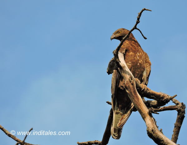 Oriental Honey Buzzard at Bandhavgarh