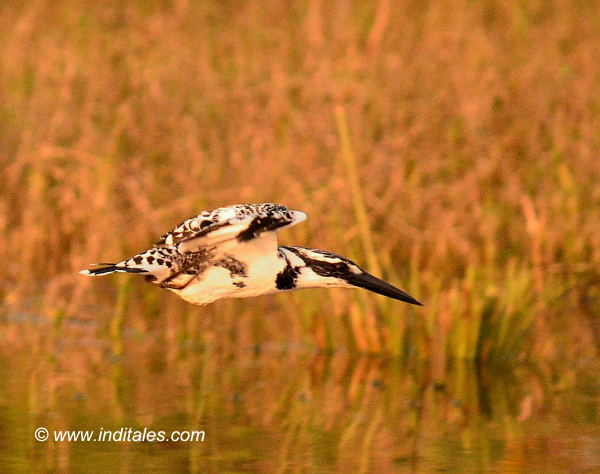 Pied-kingfisher Bird in flight, bird photography