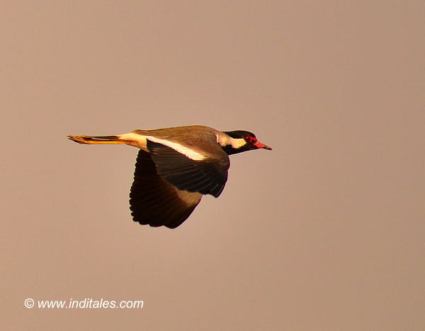 Red-wattled Lapwing Bird in flight