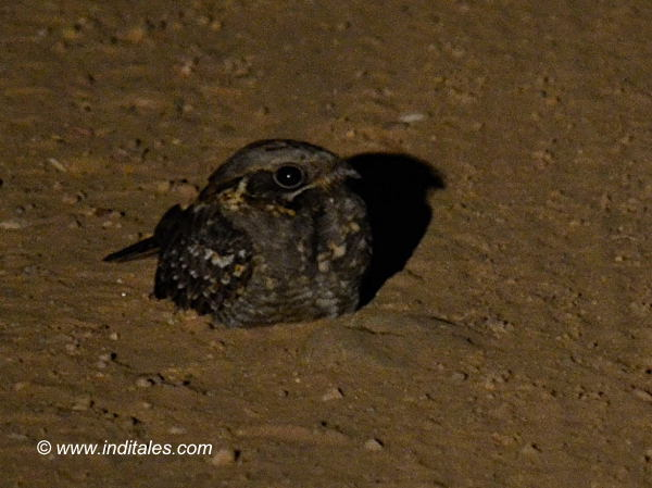 Savanna Nightjar bird photography