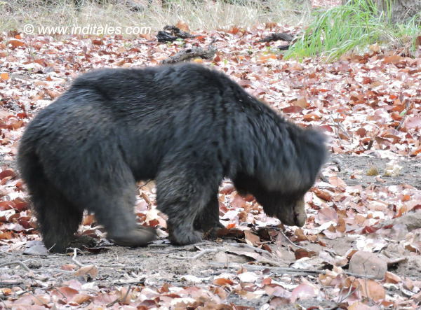 Sloth bear busy digging its food at Bandhavgarh National Park