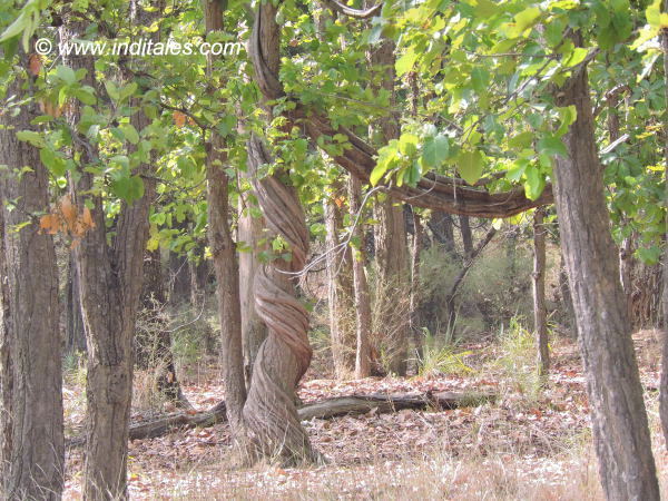 Lyna Vine around Sal tree at Bandhavgarh National Park