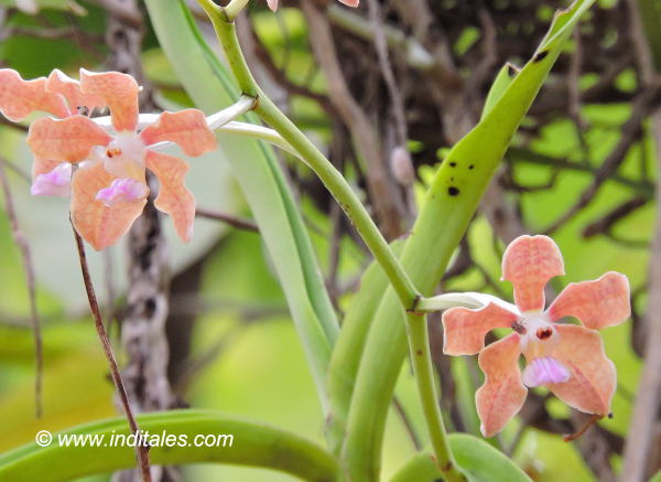 Orchid flowers at Bandhavgarh National Park