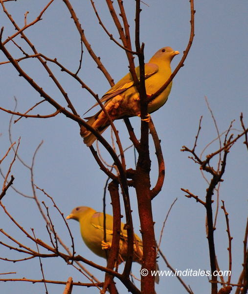 Yellow-footed Green Pigeon bird photography