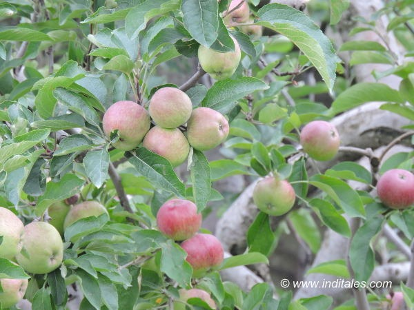 Himachal Apples - going green to red