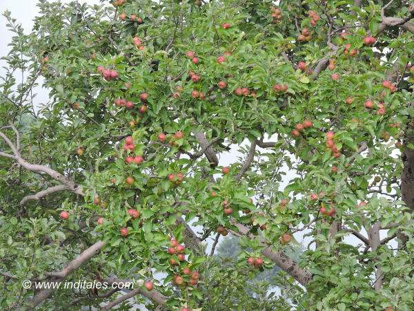 A tree laden with Himachal Apples, Thanedhar
