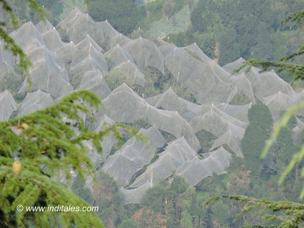 Himachal Apple trees covered to protect from hailstorm, Thanedhar, Himachal Pradesh