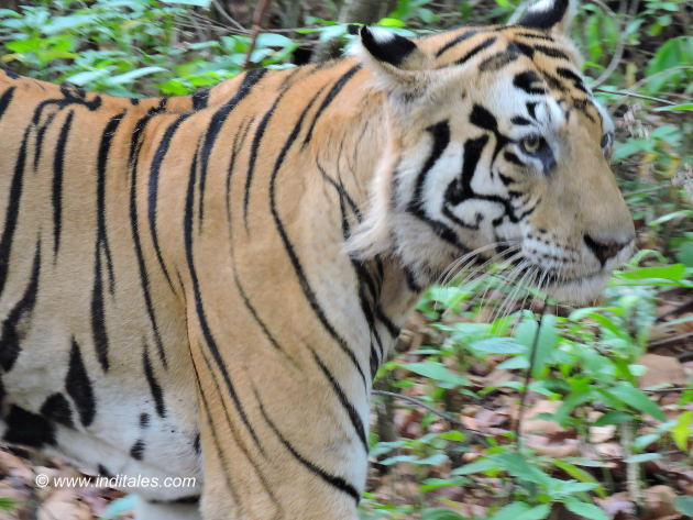 Rock Star Tiger Munna at Kanha national park
