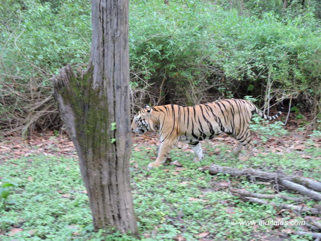 Rock star tiger oblivious to tiger safari enthusiasts at Kanha National Park