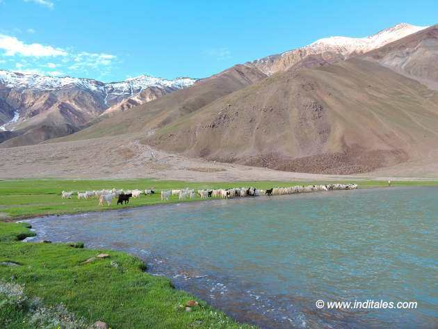 Sheep, Shepherds & Meadows at Chandratal