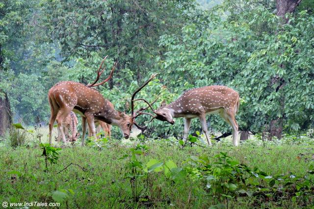 Spotted Deer's locking Horns at Kanha National Park