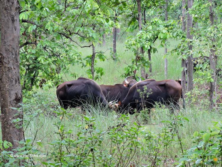 Indian Gaurs Locking Horns