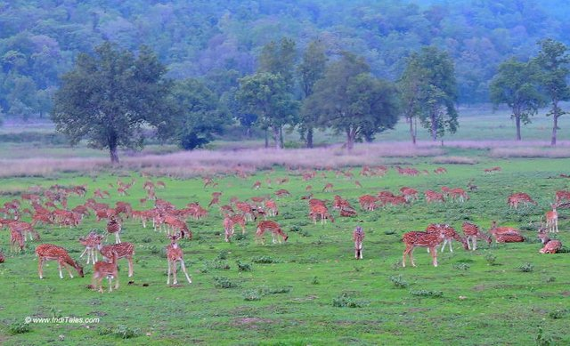A herd of Spotted Deer's at Kanha National Park