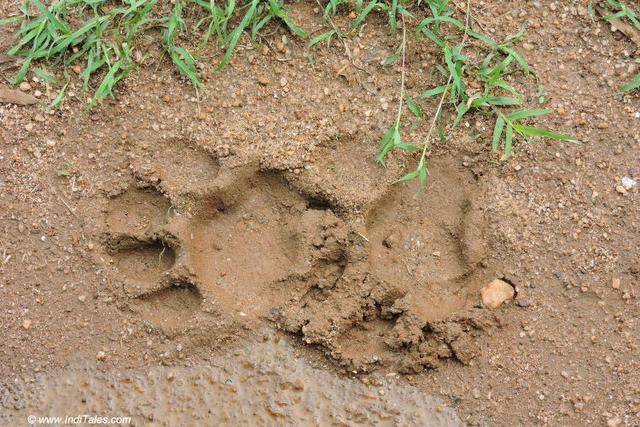 Fresh Pug Marks of a Tiger at Kanha National Park