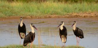 Flock of Woolly-necked Stork
