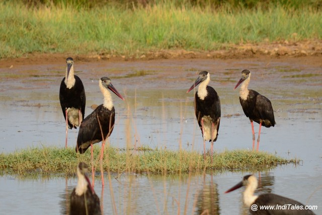 Woolly-necked Stork flock by the shallow backwaters of Mandovi river
