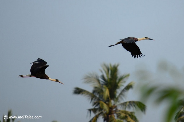 Pair of birds ascending with a coconut tree in the background